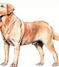 Example Labrador Retriever