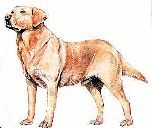 Labrador Overcomes Itchy Skin Problems & Sores