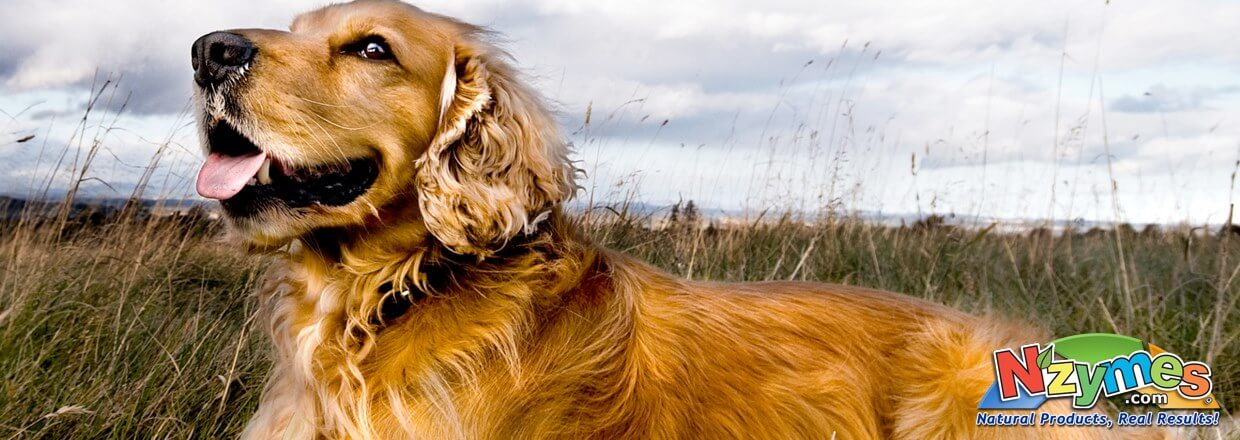 Golden Retriever in field