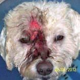Bichon Frise Conquers Dog Allergies Symptoms