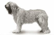 russian sheepdog
