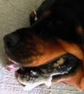 dog having seizure