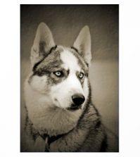 Art example, Siberian Husky