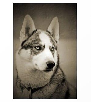 Siberian Husky & Hip Pain Trouble Improvement