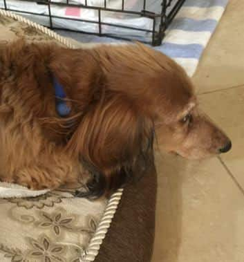 Dachshund Recovers from Vaccination Induced Paralysis