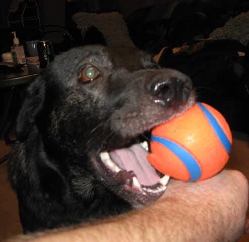 Raja - shepherd loves ball