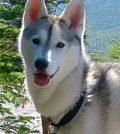 Husky ear wart, dog wart