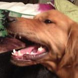 Rylee the Golden Retriever Conquers Mouth Warts