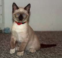 Lucky, a Siamese Kitten with Vaccine Response Seizures