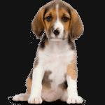 Beagledog