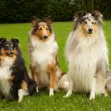 MDR1 Gene Mutation and your Herding Breed