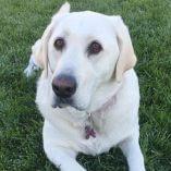 Featured Story: Labrador Dog Walks & Plays Despite Worst Hips