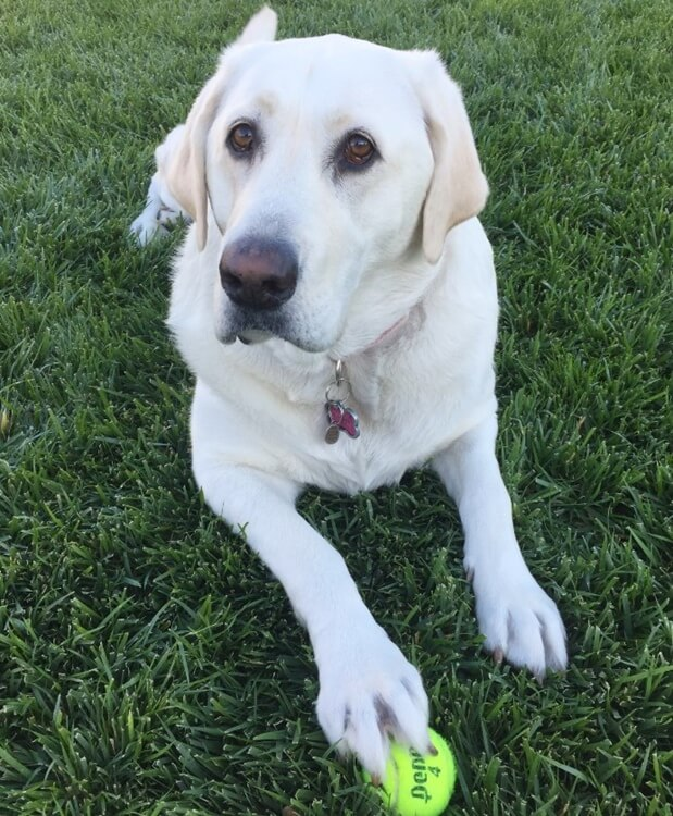 Labrador, Dixie can run and play with worst hips