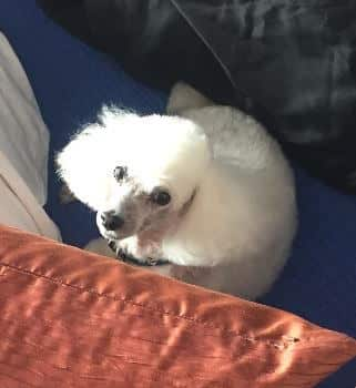 """Toy Poodle """"Viva"""" Spry Again After Hip Dysplasia"""