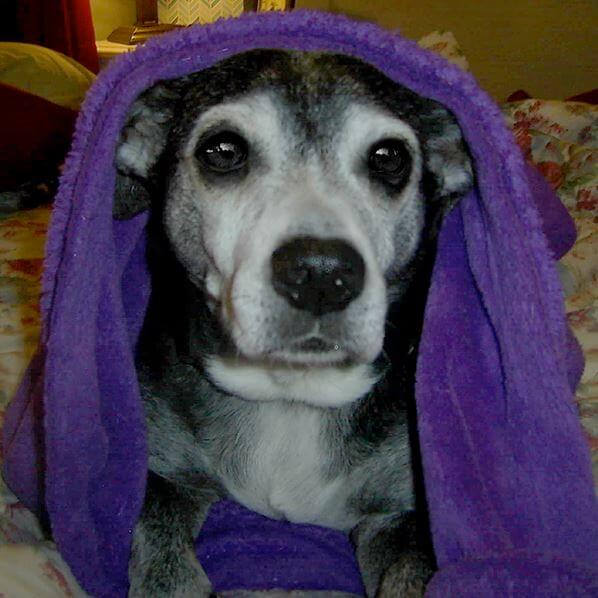 Aging Jack Russell/Lab mix Regains Mobility, Vitality