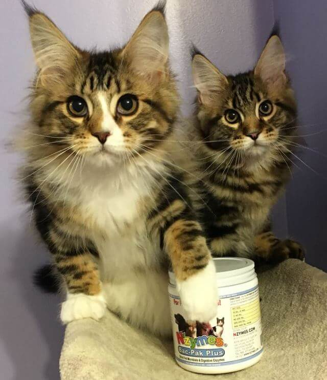 Bella and Caymus, Beautiful Maine Coon Kittens