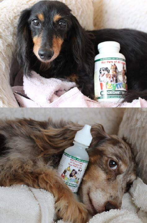Dachshund Duo Doing Well with Nzymes.