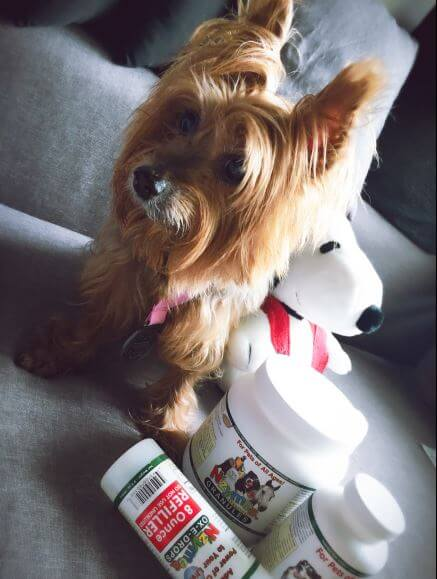 Silky Terrier Benji Finds Help From Nzymes