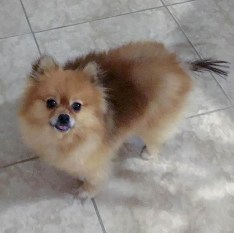 Majk, Pomeranian hair loss issues